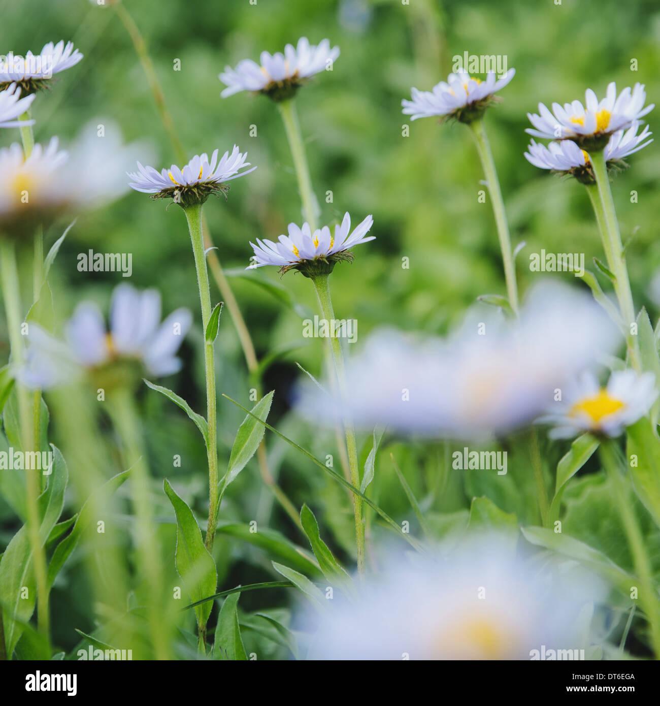 Daisy like flower stock photos daisy like flower stock images alamy alpine asters daisy like flowers in lush green meadow at mount rainier national park izmirmasajfo