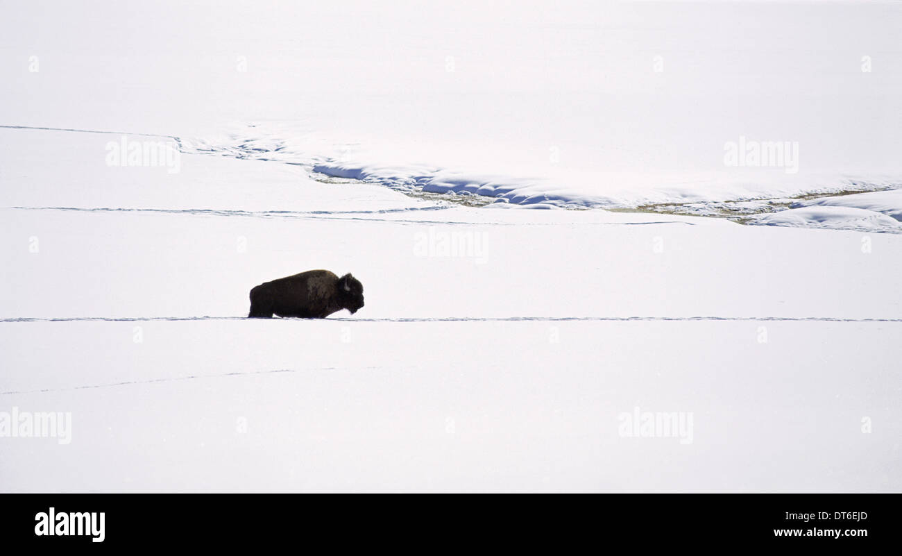 A bison in the snow. The American bison, the American buffalo. A single animal, in a deep snow drift. An open snowy landscape. - Stock Image
