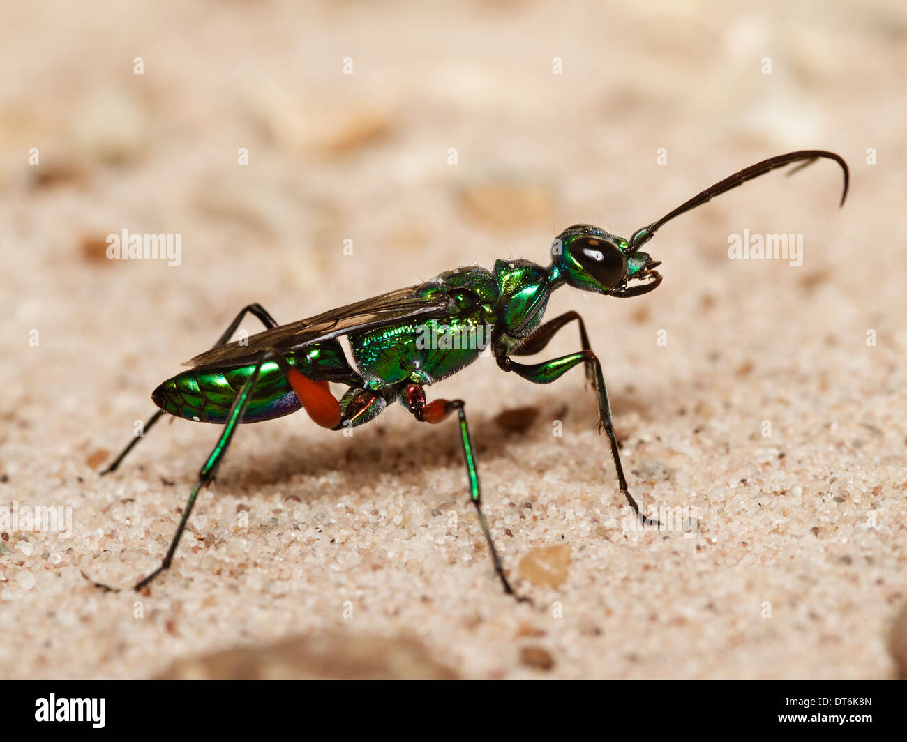 Jewel wasp (Ampulex compressa) - Stock Image