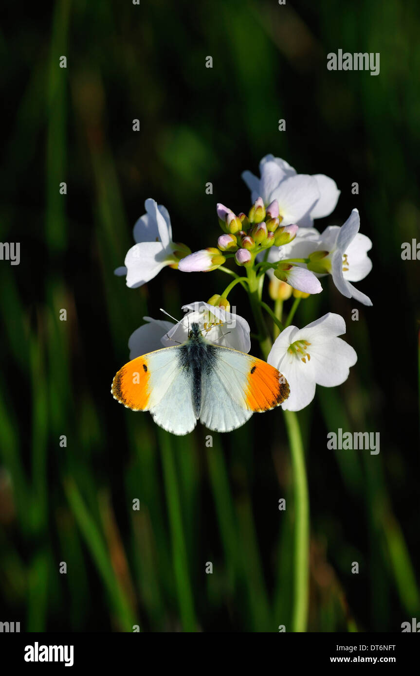 An orange tip butterfly on a cuckoo flower or lady's smock UK Stock Photo