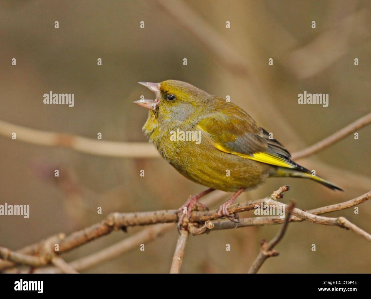 Greenfinch (Carduelis chloris) Stock Photo
