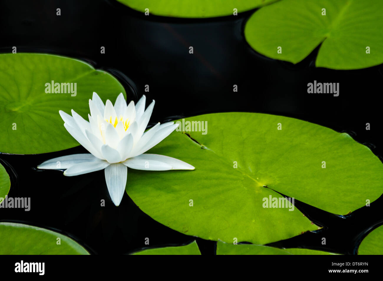 A fragrant water lily (nymphaea odorata) with lily pads. - Stock Image