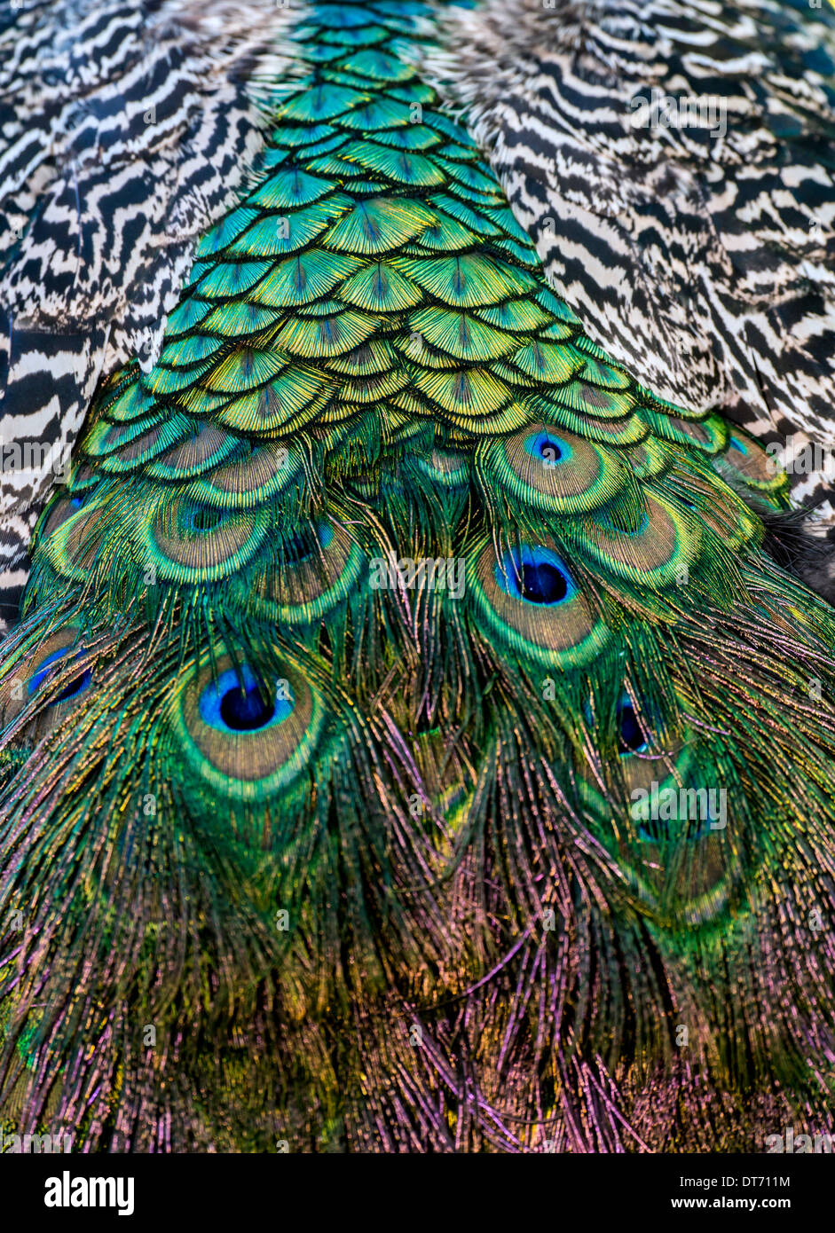 Peafowl are two Asiatic and one African species of flying bird in the genus Pavo of the pheasant family, Phasianidae - Stock Image