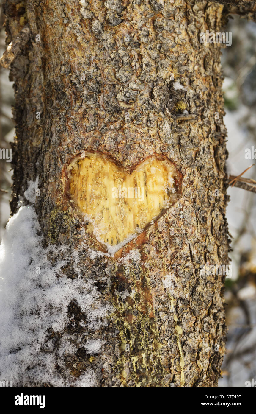 heart carved into the bark of a pine tree trunk with some snow - Stock Image
