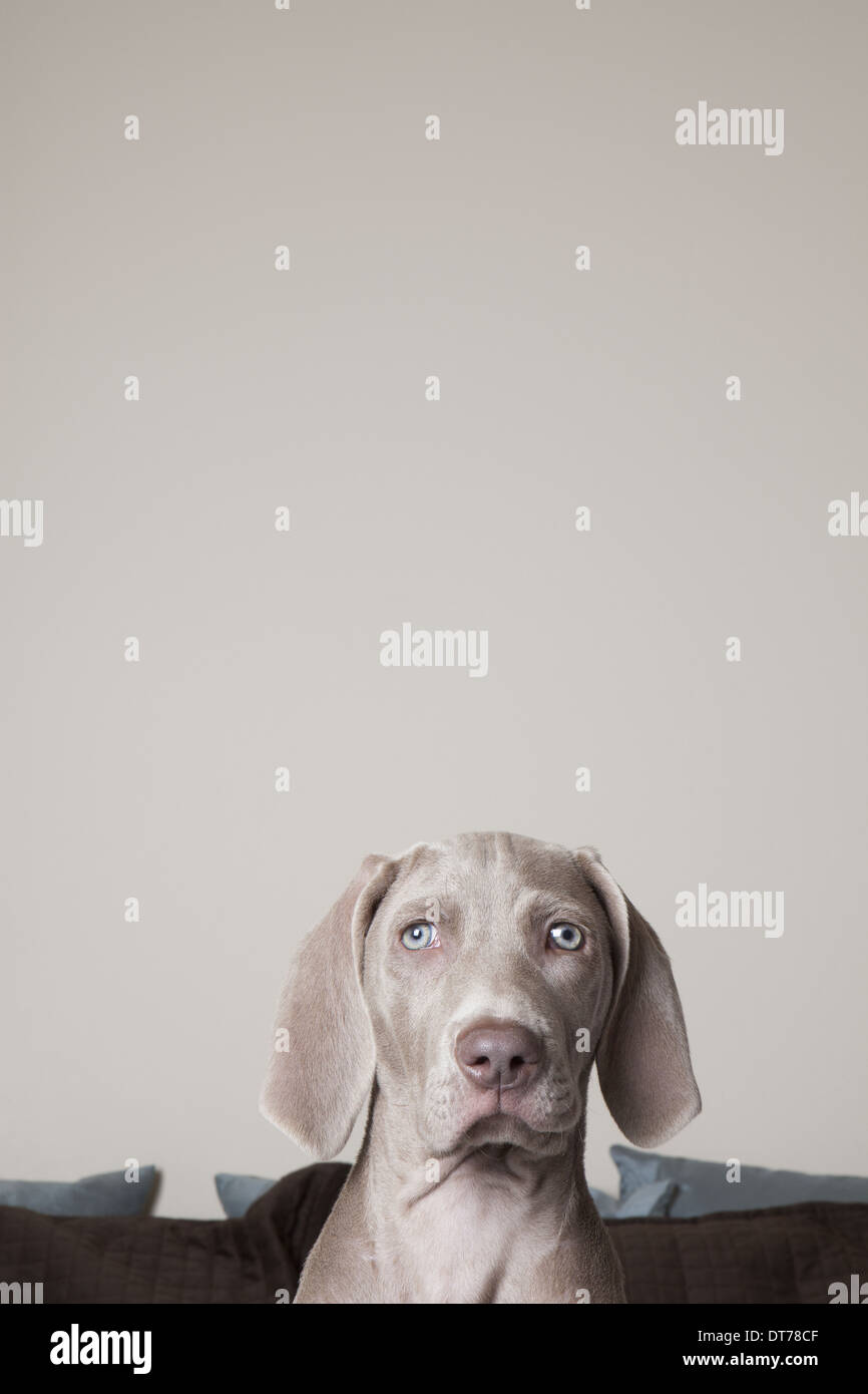 A Weimaraner puppy on a bed. Looking directly ahead. - Stock Image