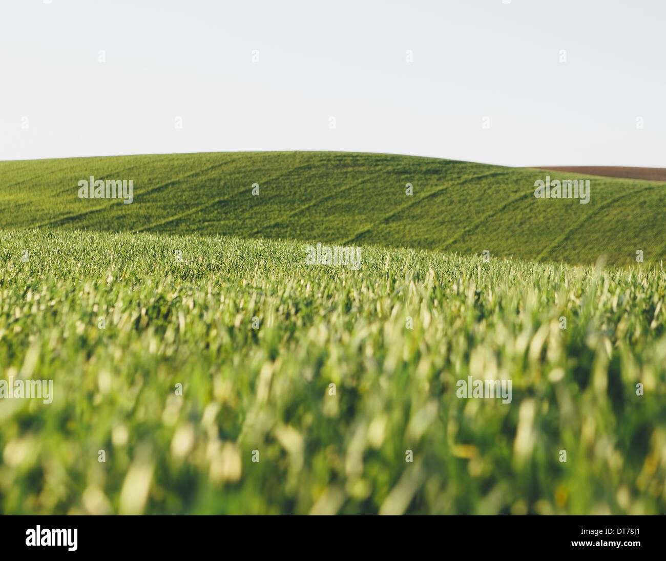 A view across the ripening stalks of a food crop, cultivated wheat growing in a field near Pullman, Washington, USA. - Stock Image