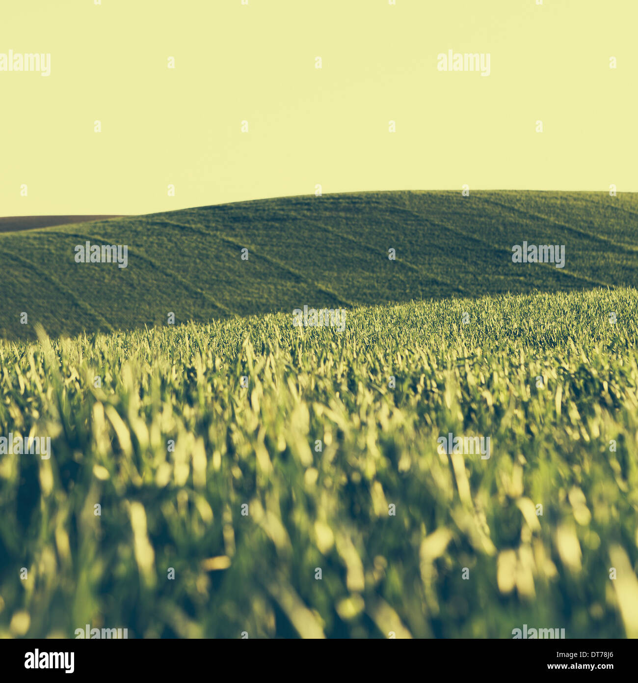 A view across the ripening stalks of a food crop, cultivated wheat growing in a field near Pullman, Washington, Stock Photo
