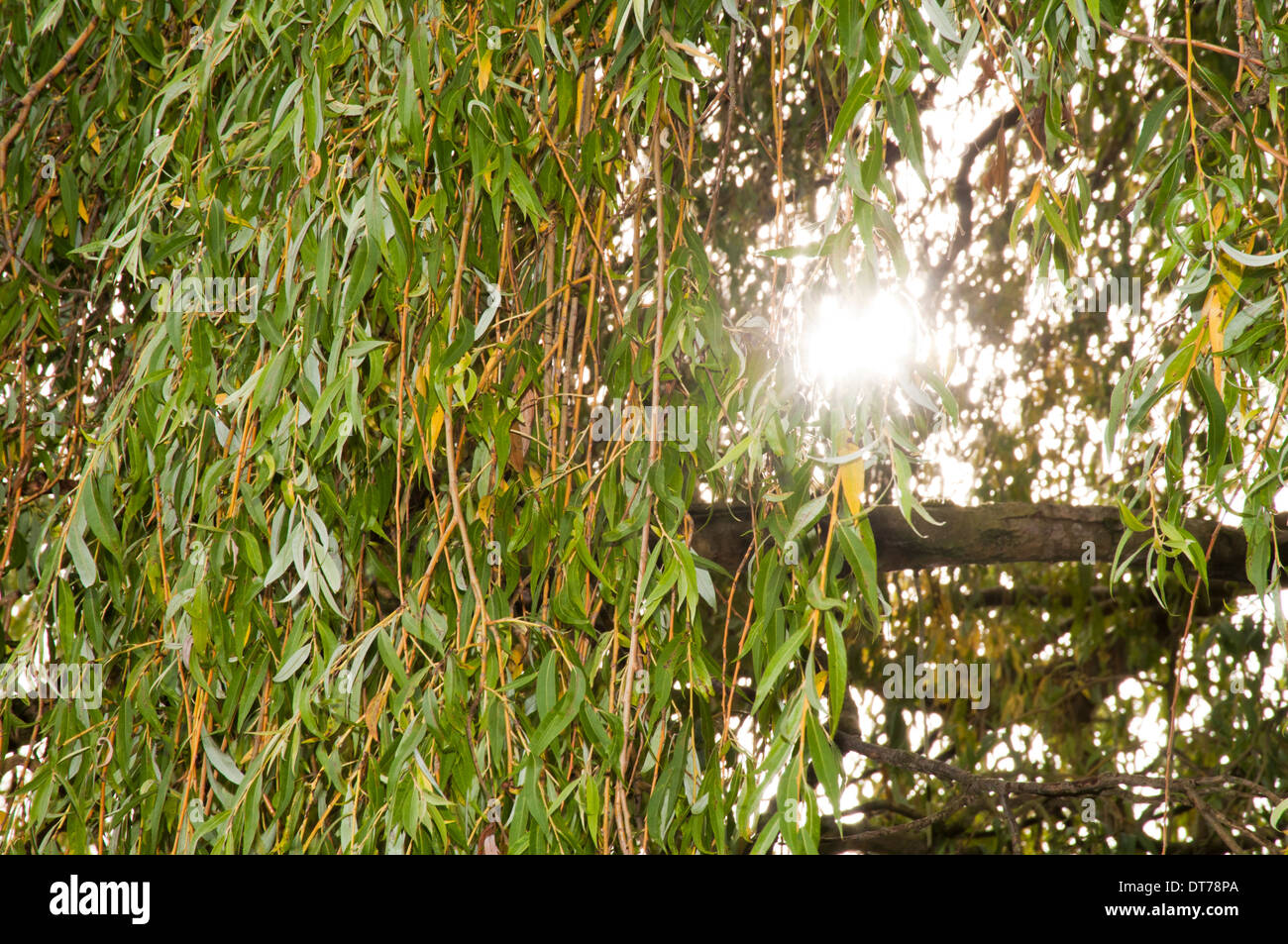 Close up of Weeping Willow tree leaves with sunlight coming through ...