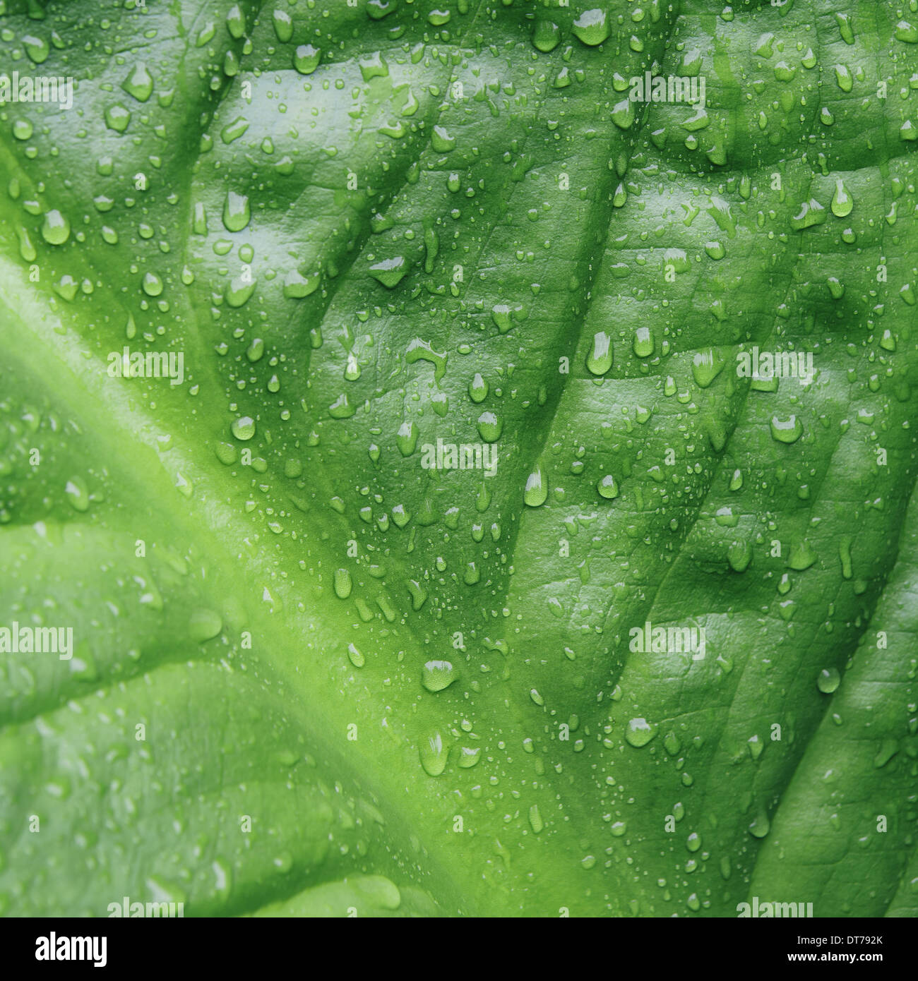 Close up of water drops on lush, green Skunk cabbage leaves (Lysichiton americanus), Hoh Rainforest, Olympic NP Stock Photo