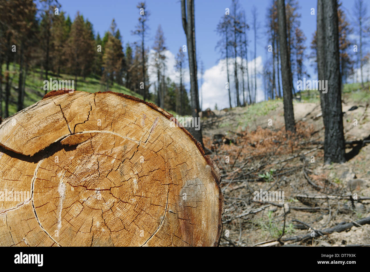 cut Ponderosa Pine tree in recently burned forest (from the 2012 Table Mountain fire), Okanogan-Wenatchee NF, near - Stock Image