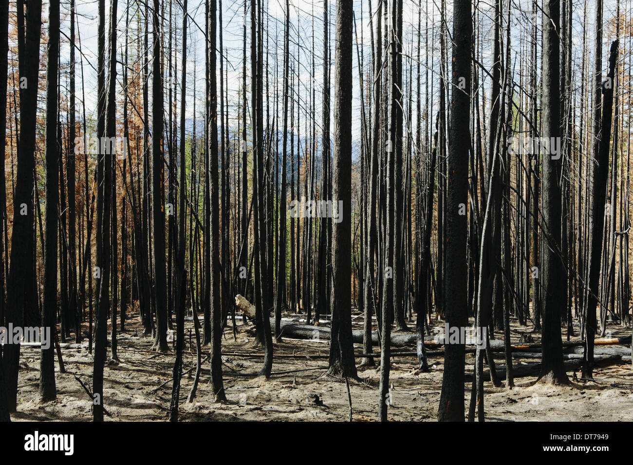 Fire damaged trees and forest (from the 2012 Table Mountain Fire), Okanogan-Wenatchee NF, near Blewett Pass - Stock Image
