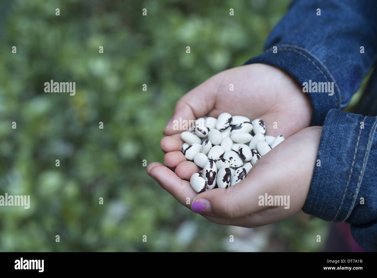 A girl holding out cupped hands, with dried beans. - Stock Image