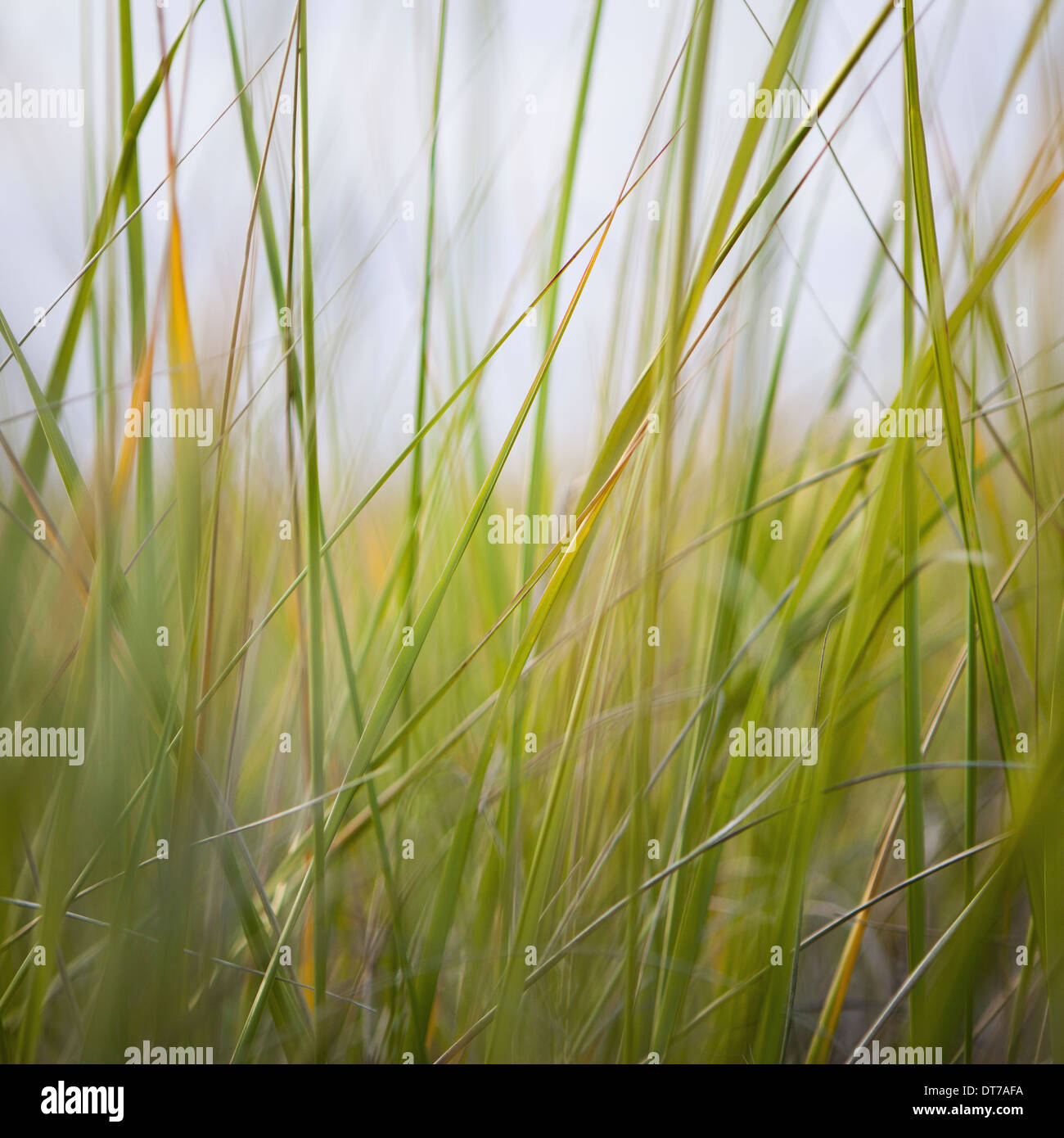 Close up of sea grasses on Long Beach Peninsula Long Beach Peninsula Washington USA - Stock Image
