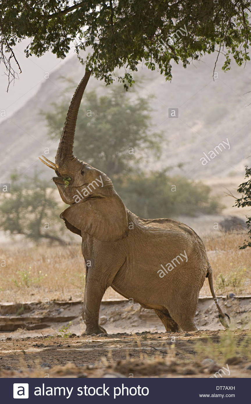 A desert elephant Loxodonta africana reaching for browse in the tree branches Huab River Torra Conservancy Damaraland - Stock Image