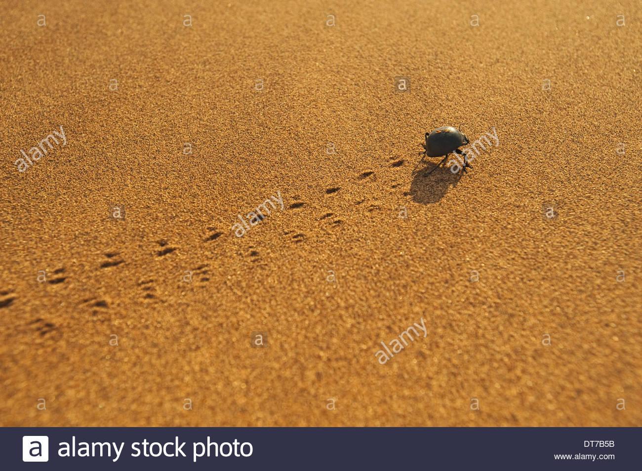 Beetle crossing sand dune Sperrgebiet National Park Namibia Sperrgebiet National Park Namibia - Stock Image