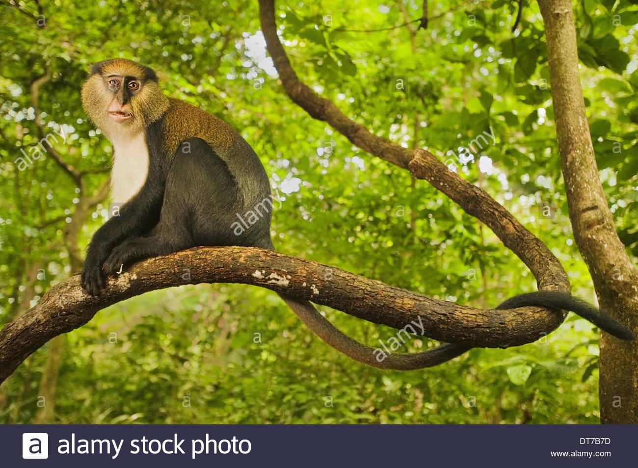 Mona monkey male Cercopithecus mona Boabeng-Fiema Monkey Sanctuary Ghana Boabeng-Fiema Monkey Sanctuary Ghana - Stock Image