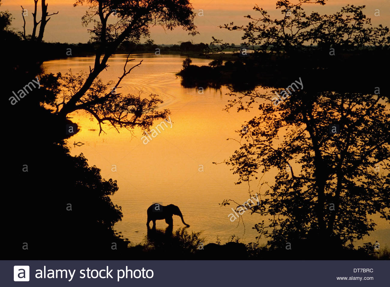 African elephant drinking Loxodonta africana Chobe National Park Botswana Chobe National Park Botswana - Stock Image