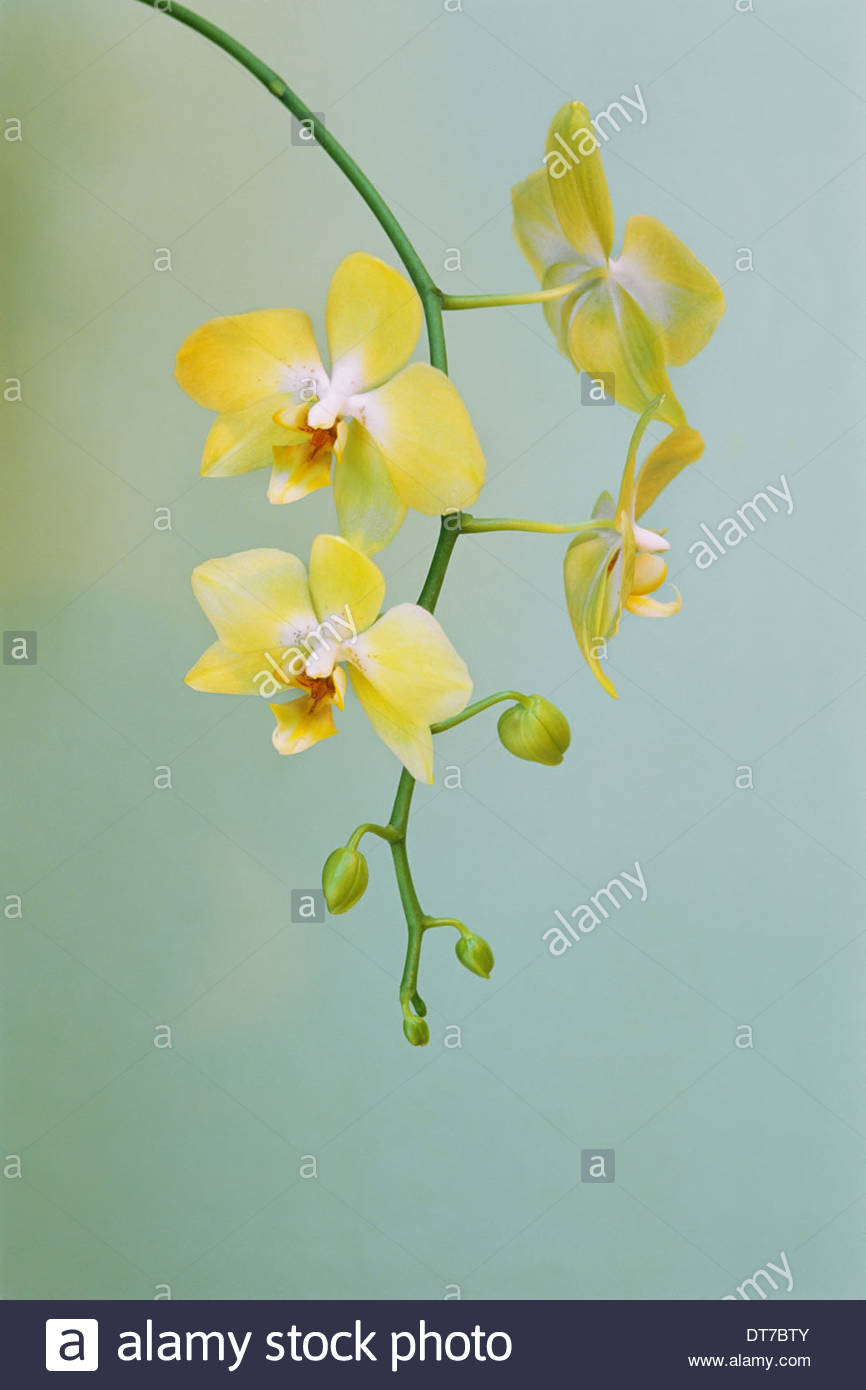 Orchid Phalaenopsis hybrid a plant with delicate yellow flowers - Stock Image