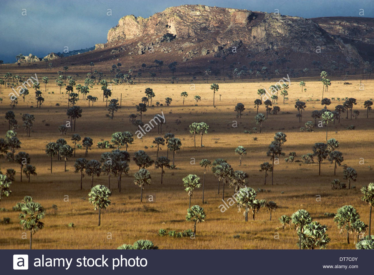 Palm Savanna Horombe Plateau Southern Madagascar Palm Savanna Horombe Plateau Southern Madagascar - Stock Image
