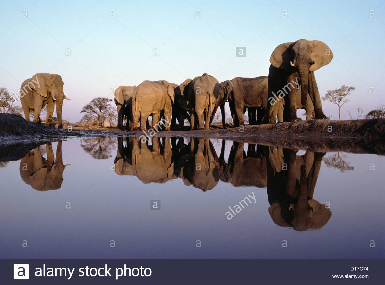 African elephant herd at waterhole Loxodonta africana Chobe National Park Botswana Chobe National Park Botswana - Stock Image