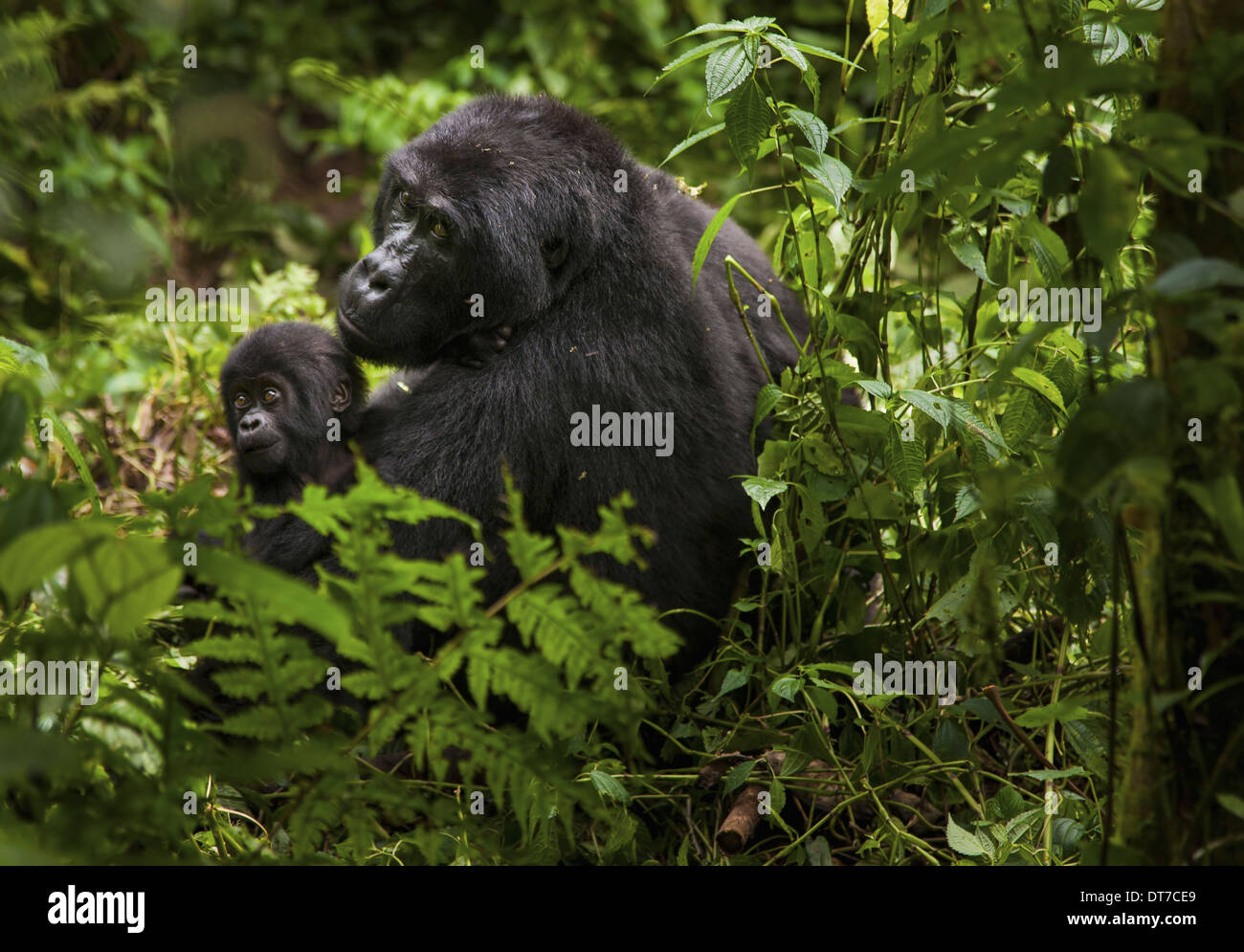 Mountain gorilla and juvenile Volcanoes National Park Rwanda Volcanoes National Park Rwanda - Stock Image