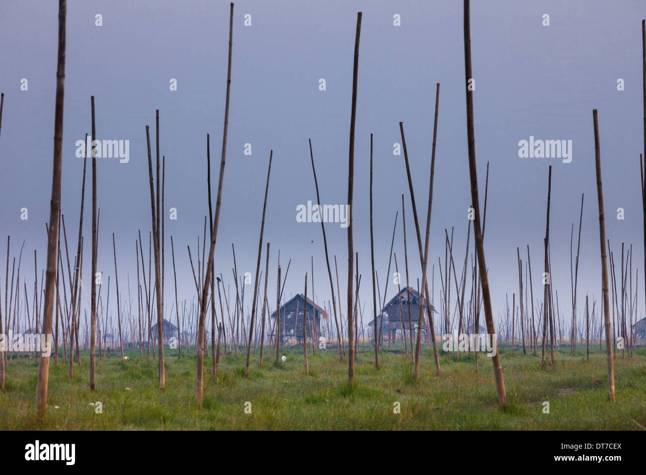 The marshes of Inle Lake Myanmar Small houses on stilts and tall poles upright in the marsh landscape Inle Lake Myanmar - Stock Image