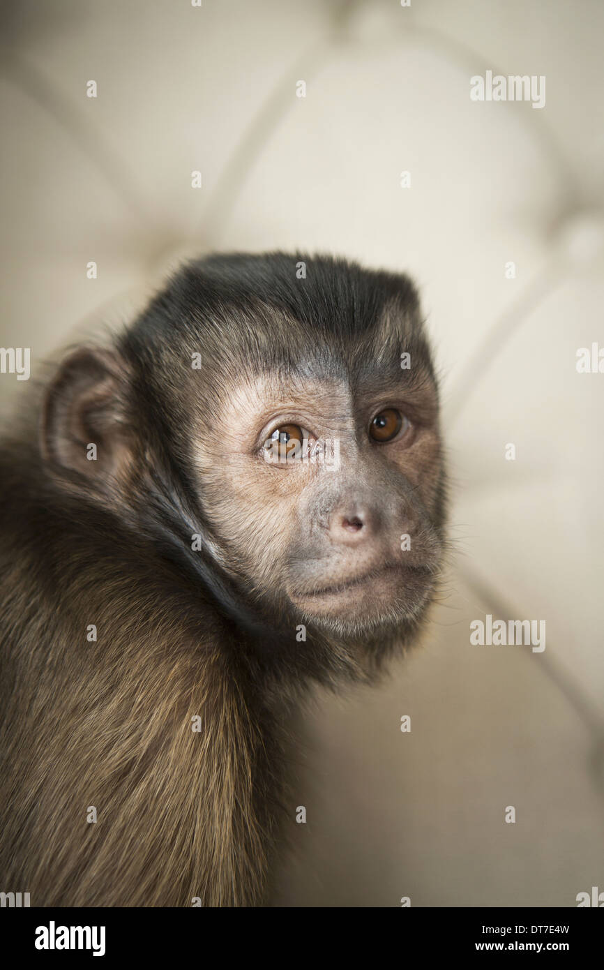 A capuchin monkey seated on a buttonbacked upholstered chair Austin Texas USA - Stock Image