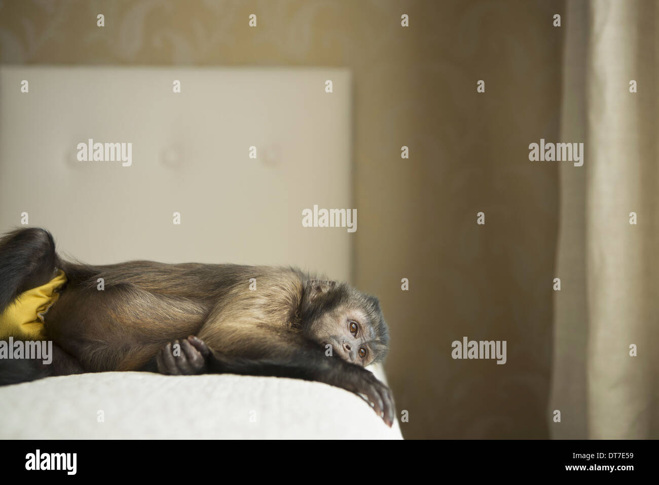 A capuchin monkey lying on his side on a bed Austin Texas USA - Stock Image