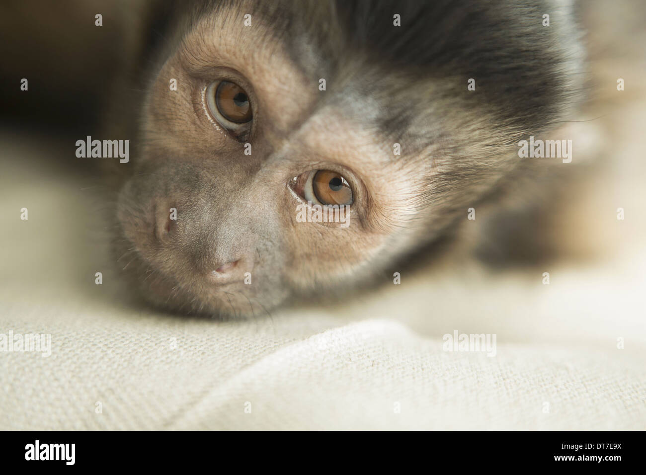 A capuchin monkey in a bedroom lying on an upholstered chair looking forlorn Austin Texas USA - Stock Image