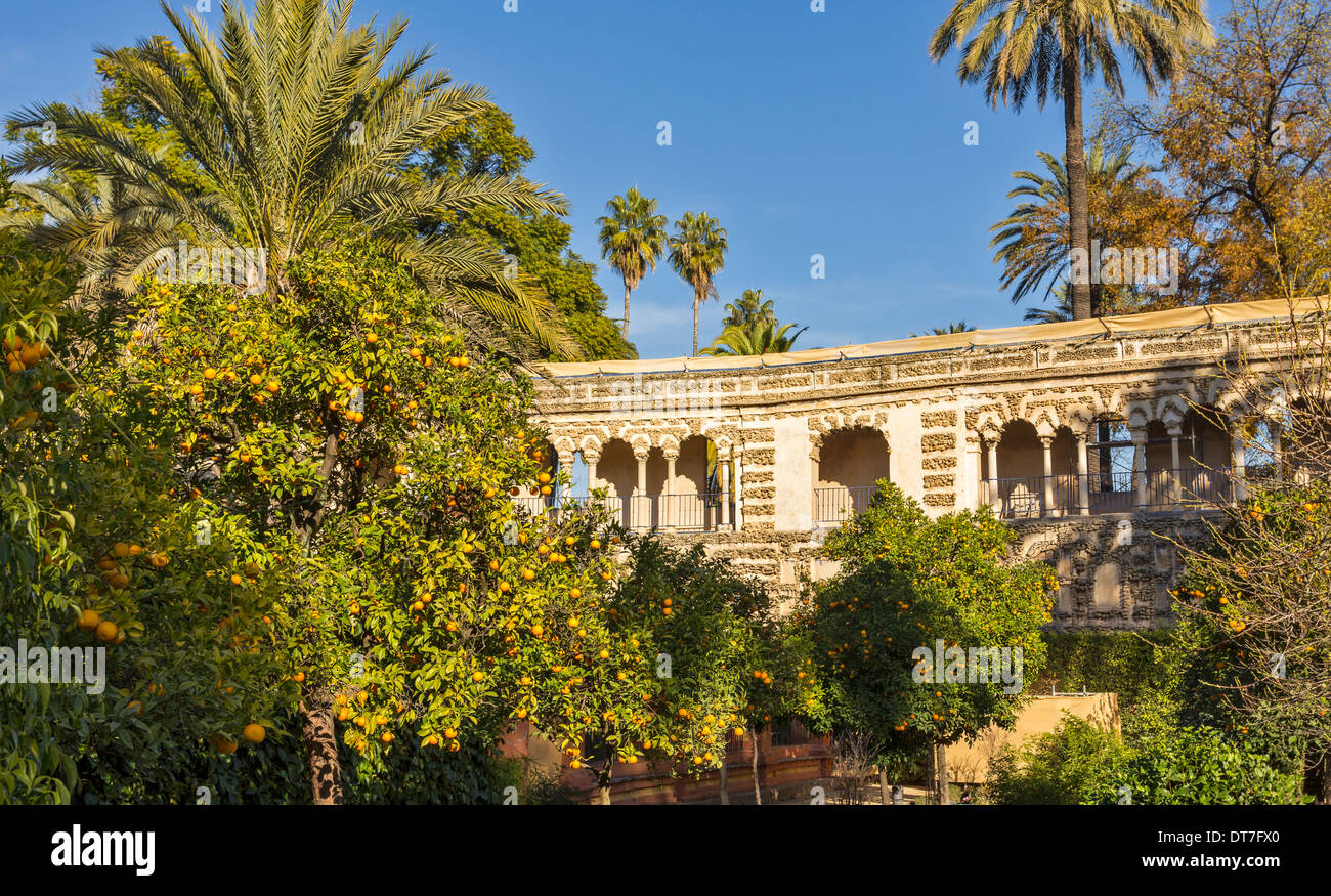 ALCAZAR OF SEVILLE SPAIN THE GARDENS WITH ORANGE TREES LOADED WITH FRUIT IN DECEMBER - Stock Image