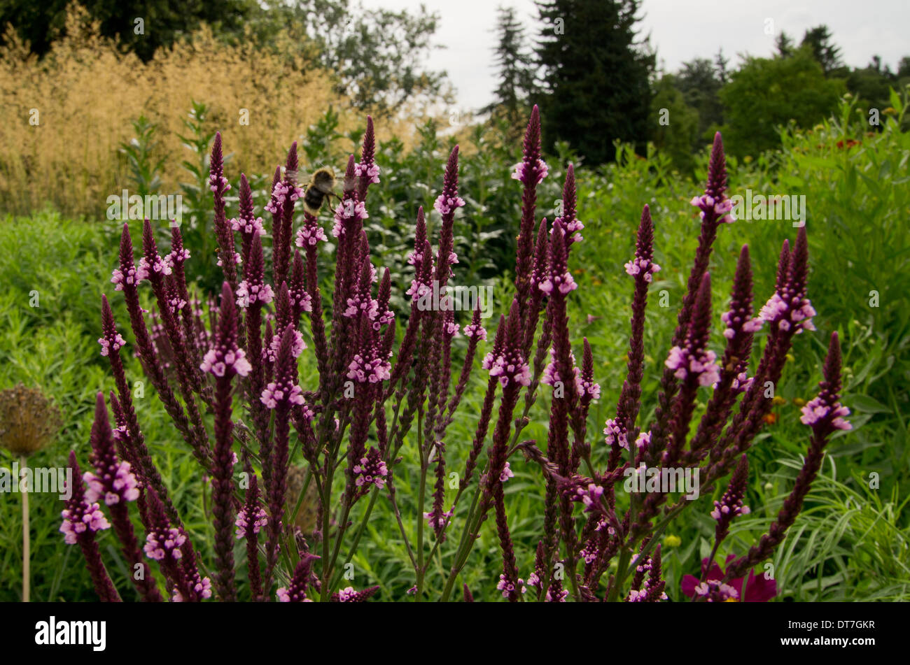 Verbena hastata rosea Stock Photo: 66549611 - Alamy