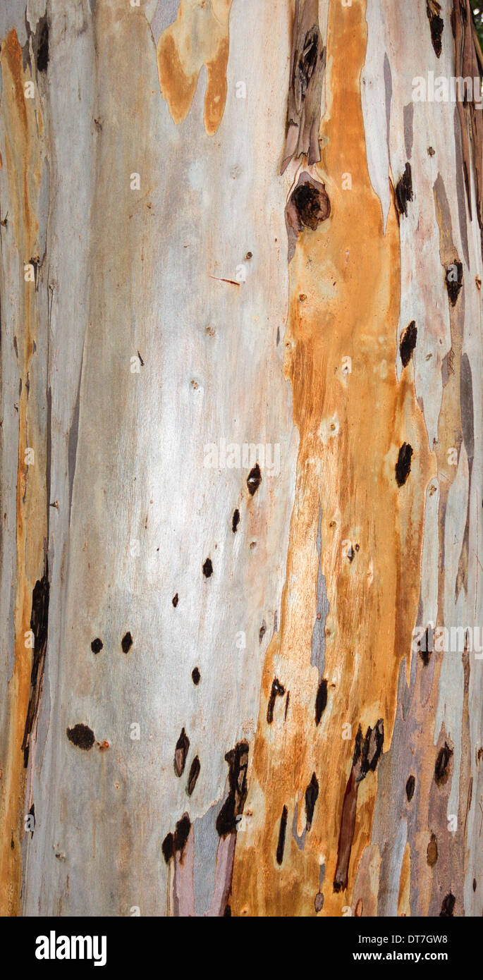 EUCALYPTUS [MYRTACEAE ] TREE THE COLOURS OF THE BARK ON THE MAIN TRUNK - Stock Image