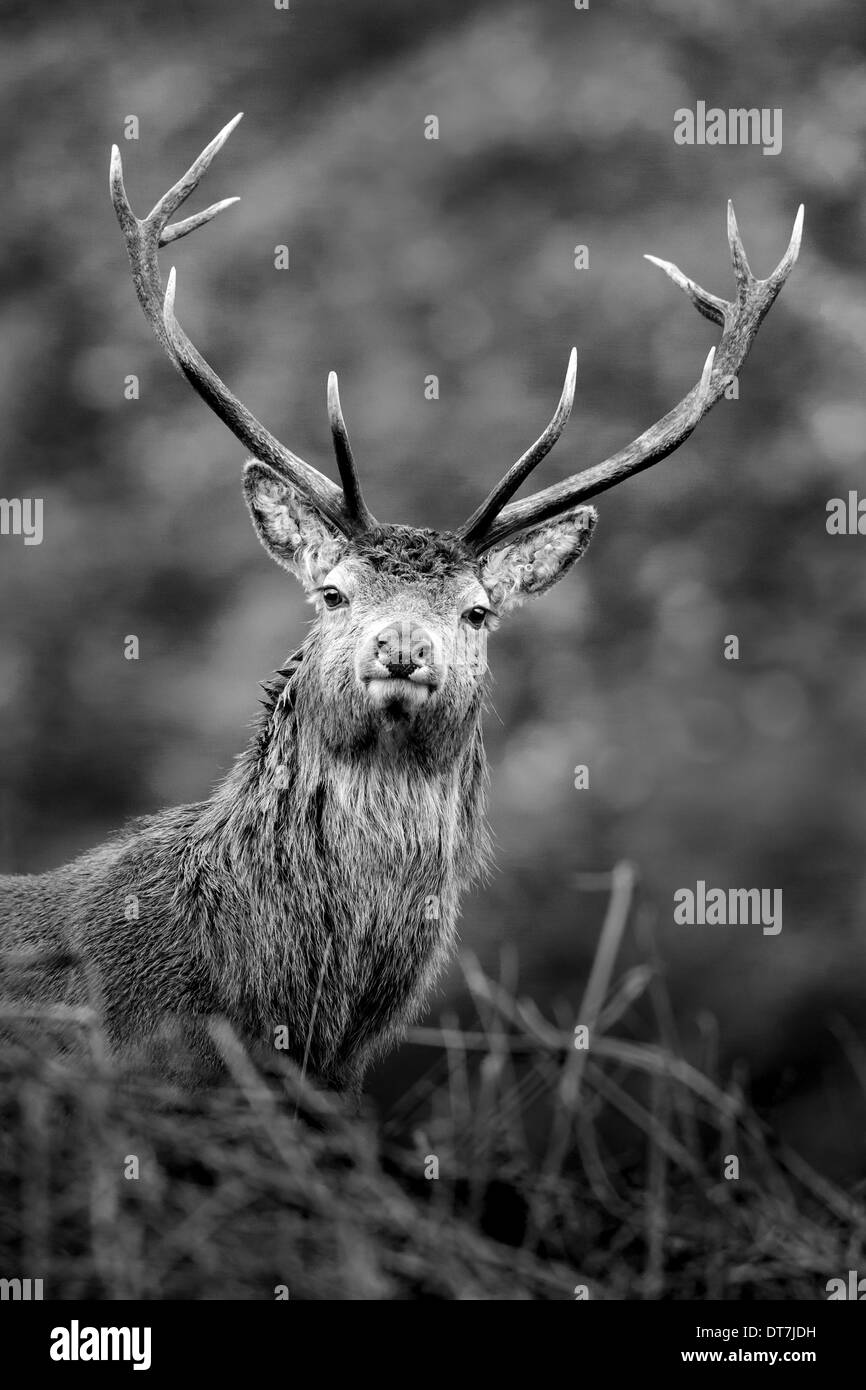 Red Deer stag (Cervus elaphus) peers over a grassy hill along Glen Etive, Highlands, Scotland - Stock Image