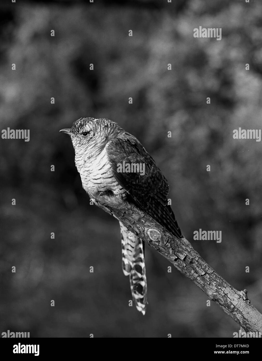Cuckoo - Ditchling East Sussex.Taken in 1950 by Eric Hosking. - Stock Image