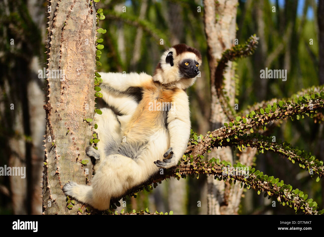 stylish sifaka siting comfortably on spiny branch - Stock Image