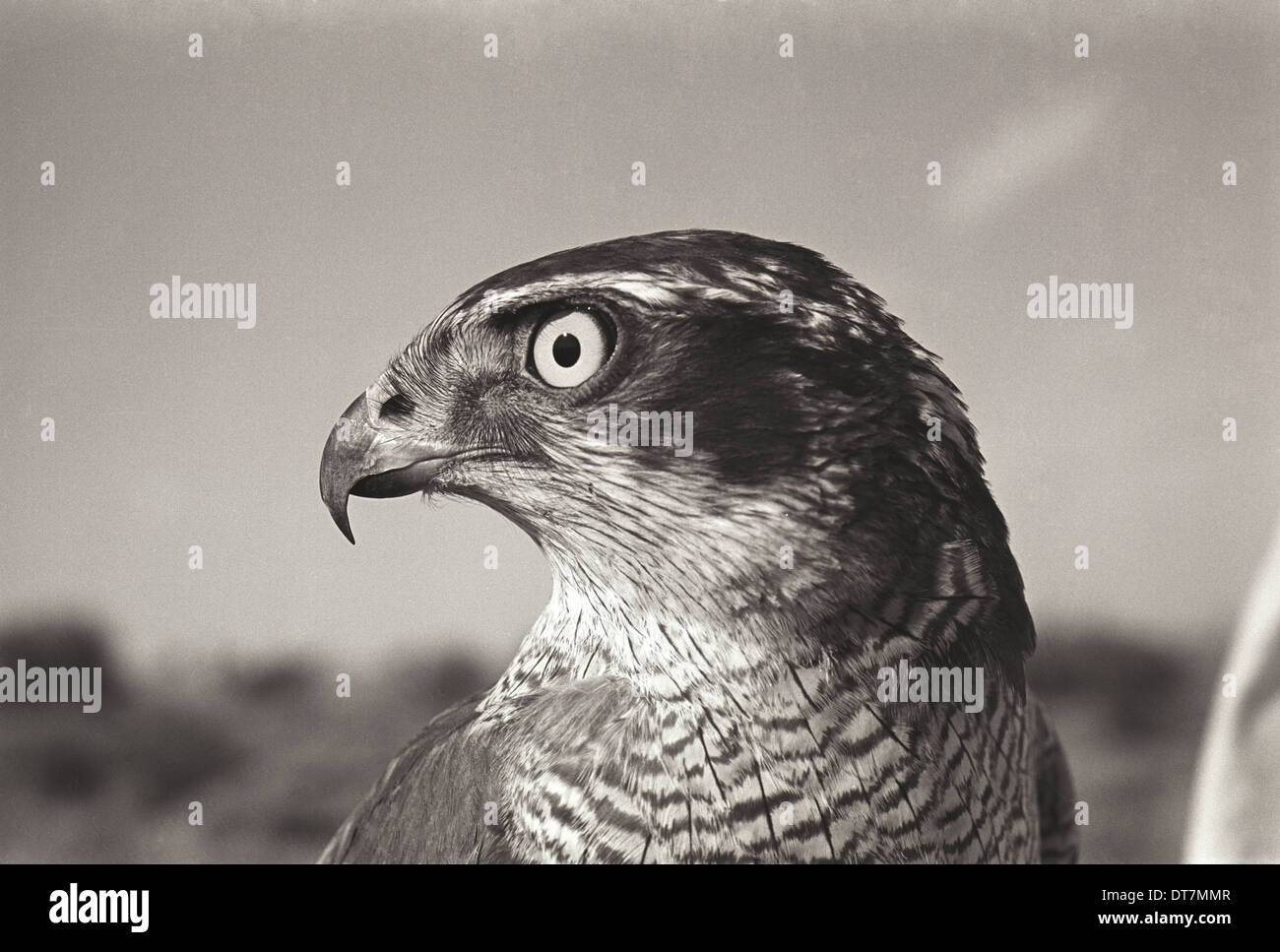 Goshawk, November 1966, Contarex camera, 50mm planar lens. f/11, 1/250th, Pan- x Film - Stock Image