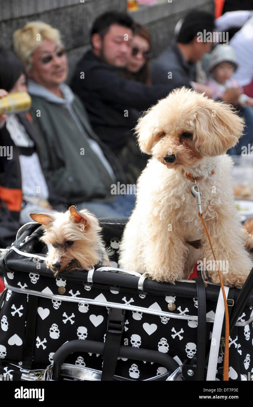 Poodles in a dog stroller - Tokyo, Japan - Stock Image