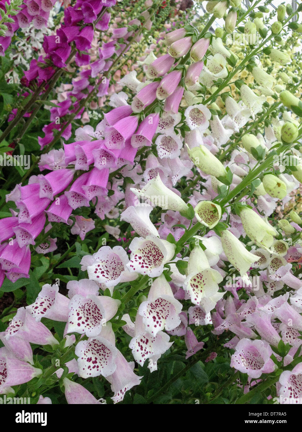 Foxgloves - Stock Image