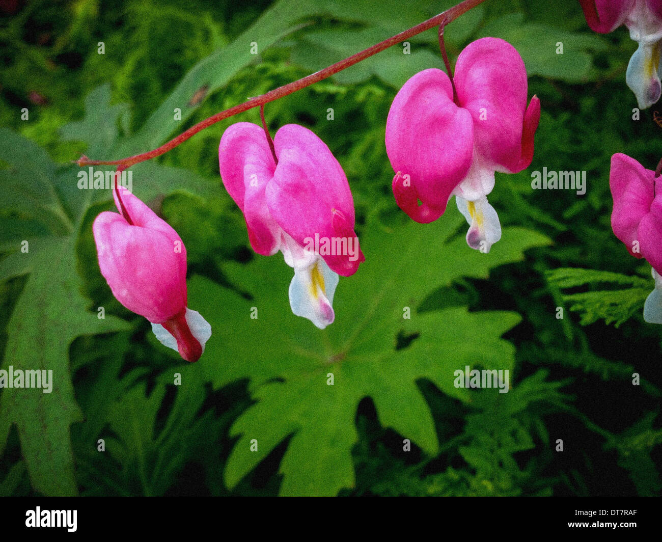 Dicentra Spectabilis Bleeding Heart flowers - Stock Image