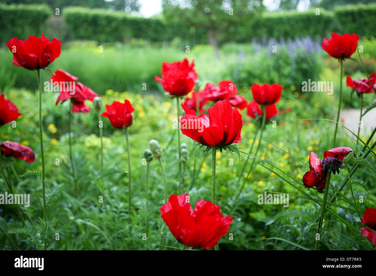 Papaver orientale (Goliath Group) 'Beauty of Livermere' / red oriental poppy - Stock Image