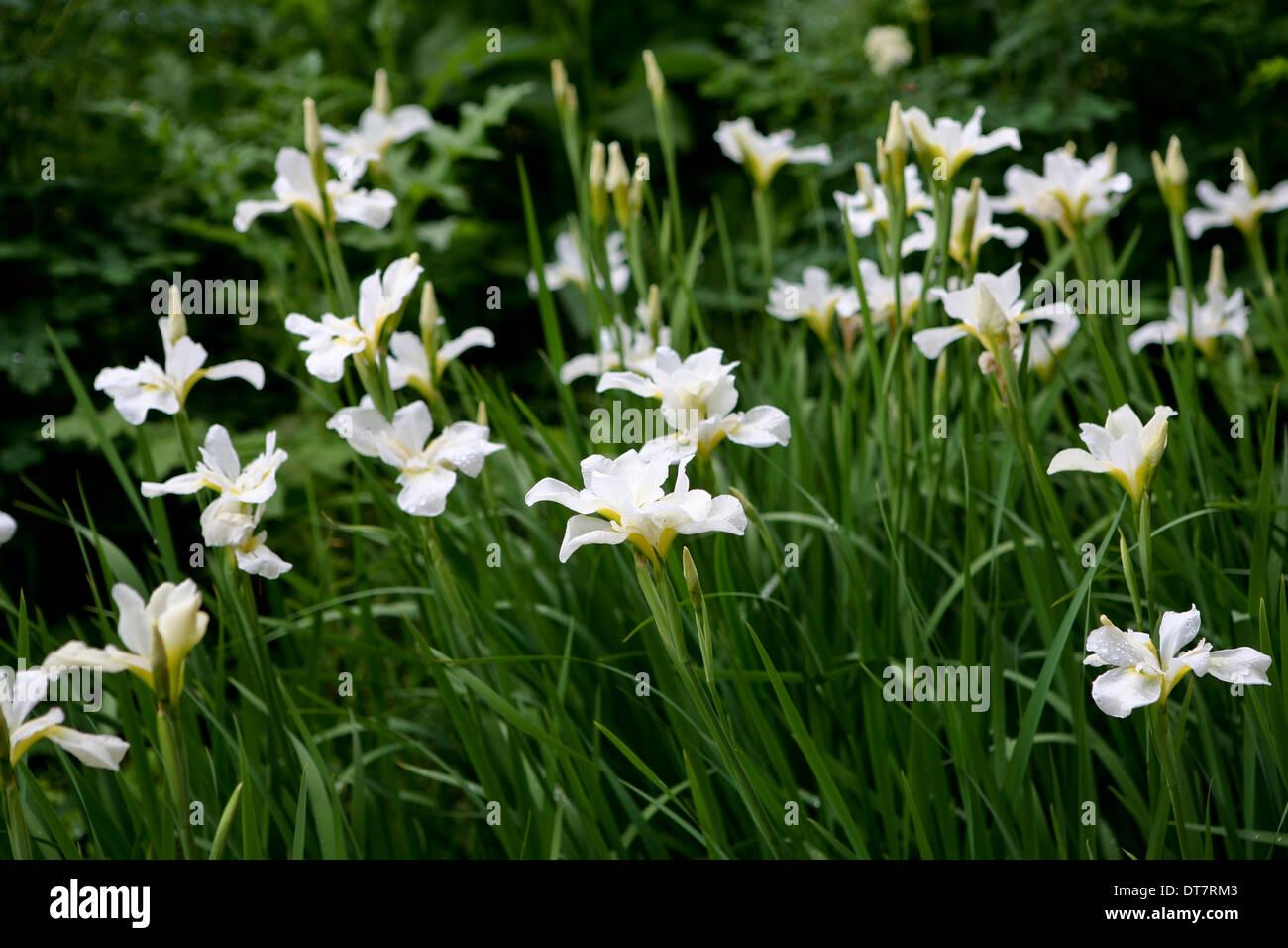 Iris white swirl siberian iris flower stock photo 66555107 alamy iris white swirl siberian iris flower izmirmasajfo