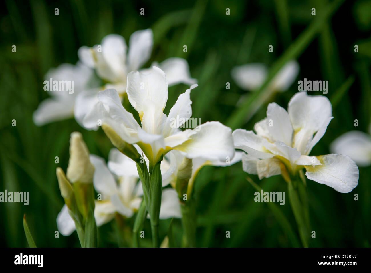 Iris white swirl siberian iris flower stock photo 66555139 alamy iris white swirl siberian iris flower izmirmasajfo
