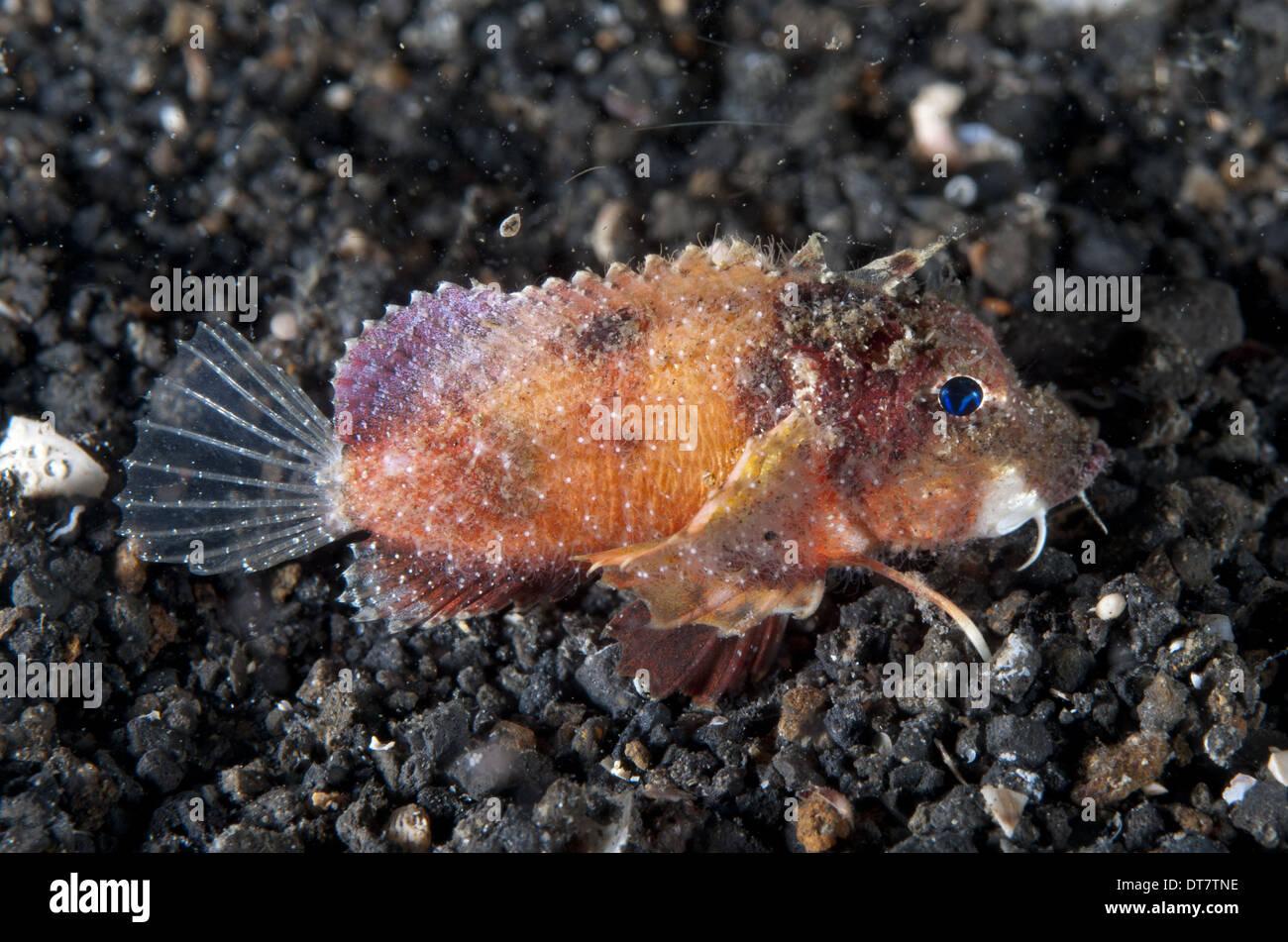 Blue-eyed Stingfish (Minous trachycephalus) adult resting on black sand Lembeh Straits Sulawesi Sunda Islands Indonesia - Stock Image