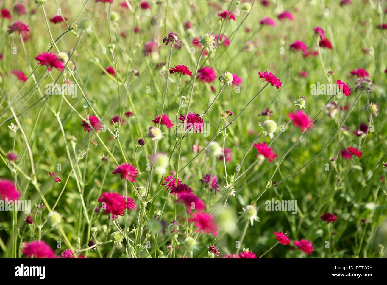 Knautia macedonica / Macedonian scabious - Stock Image