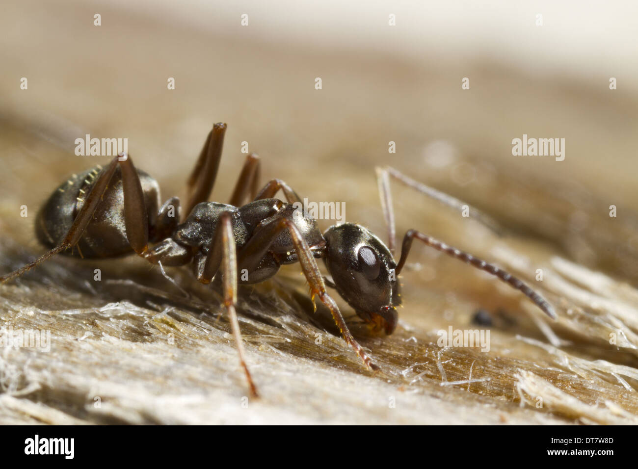 Negro Ant (Formica fusca) adult worker, standing on wood, Powys, Wales, July Stock Photo