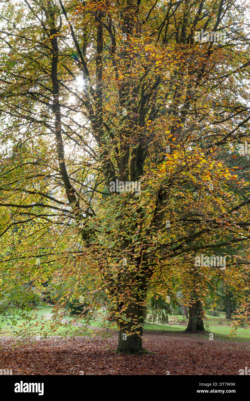 Beech tree in autumn (Fagus sylvatica) - Stock Image