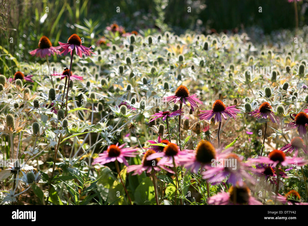 Plant combination - Echinacea purpurea (purple cone flower) and Eryngium giganteum 'Silver Ghost' (giant sea holly) - Stock Image