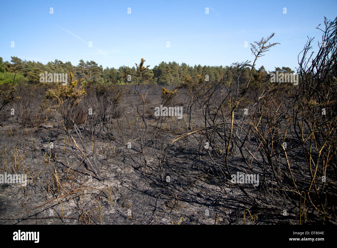 Aftermath of fire on heathland caused by either carelessness or arson, Ashdown Forest, East Sussex, England, June - Stock Image