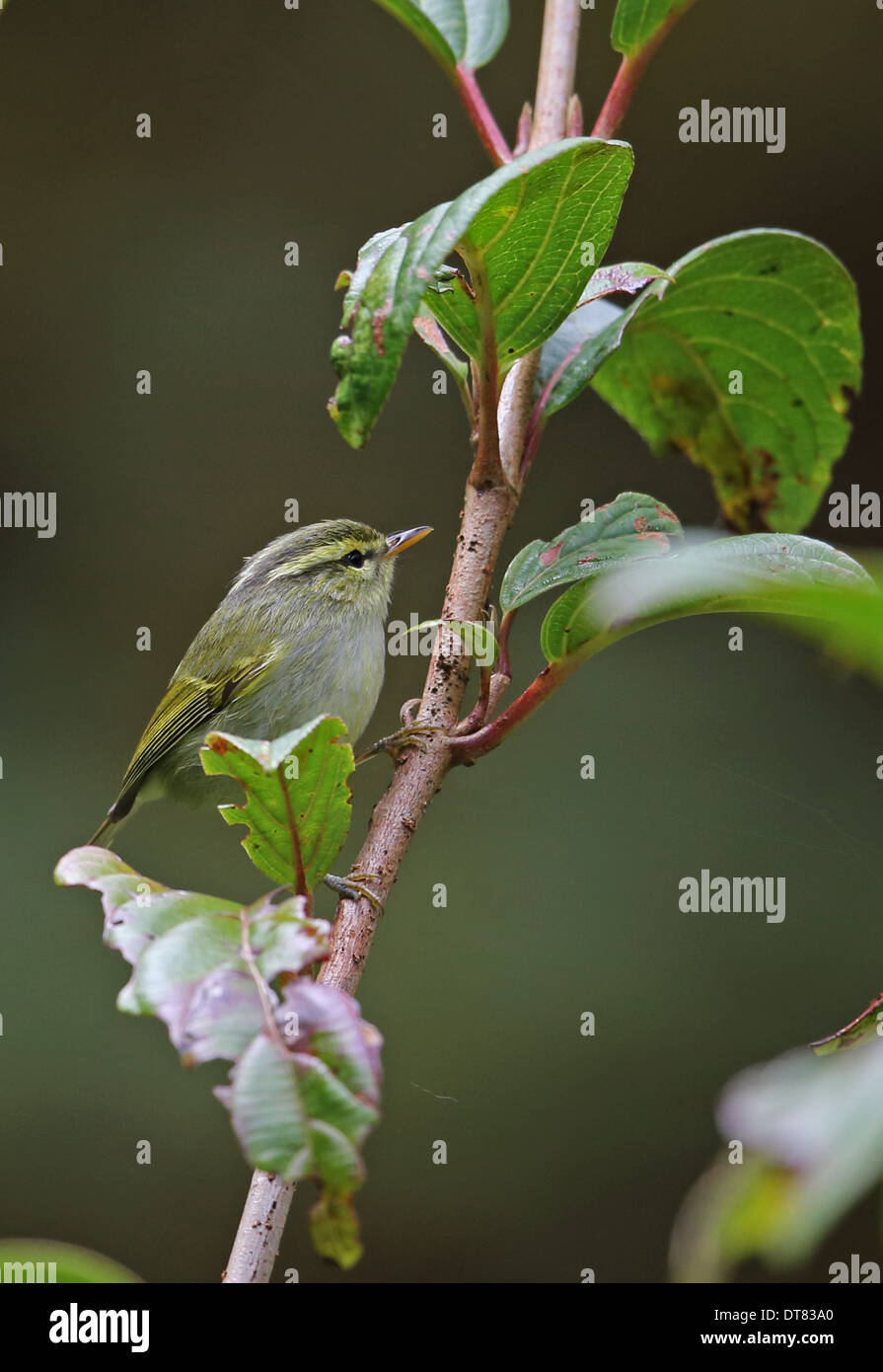 White-tailed Leaf-warbler (Phylloscopus davisoni davisoni) adult perched on twig Doi Inthanon N.P. Chiang Mai Province Stock Photo