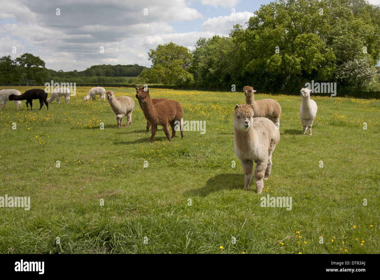 Alpaca (Lama pacos) adults, herd standing in pasture, West Sussex, England, June - Stock Image